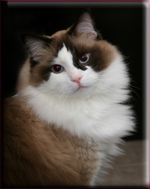 Rags, the ragdoll cat.
